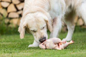 Dog-Eating-Raw-Chicken