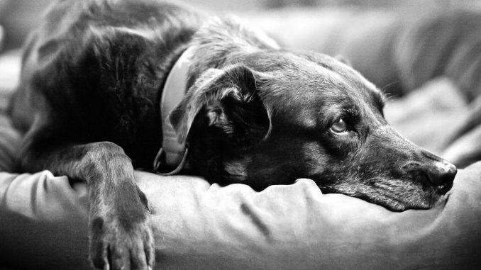 sad pup with ticks
