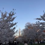 Cherry Blossoms in Trinity Bellwoods Park